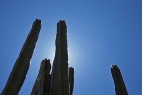 photo of long cactus trees against a blue sky