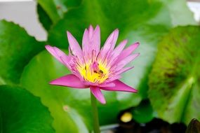 pink water lily among bright green leaves
