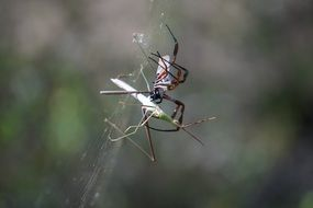 golden orb weaver caught a mantis