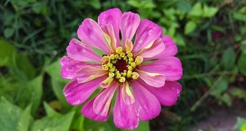 pink zinnia grows in the garden