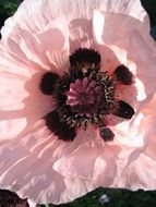 Salmon Poppy Pink Flower