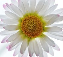 summer daisy on a white background