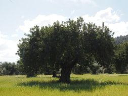 spreading olive tree