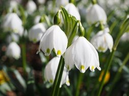 wonderful snowdrop flowers
