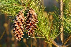 two dry cones on a pine branch close-up