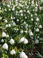 field of white snowdrops