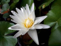 white lotus among green large leaves