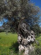 old olive tree trunk