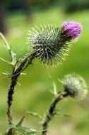 prickly thistle flower blossom