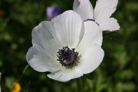 anemone from the genus of buttercups