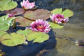 purple lotus in shallow water