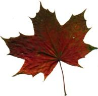 red green maple leaf on white background