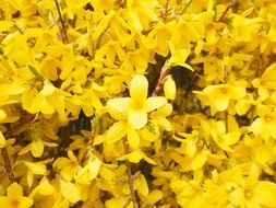 yellow ornamental shrub of forsythia