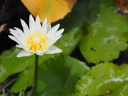 water lily, White flower above green leaves