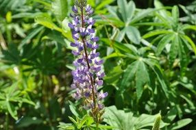 purple lupine in the wild