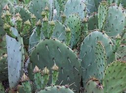 lot of huge cacti with big spines in mexico
