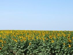 Sunflowers in field beneath Blue Sky, France
