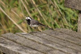 white wagtail on a wooden bench