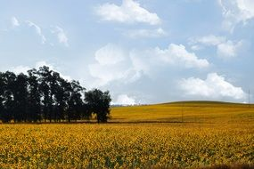 photo of a yellow field of sunflowers in the countryside