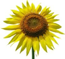 Isolated Yellow Sun Flower Blossom