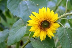 small sunflower on a thick stalk
