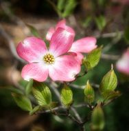 pink flowers of dogwood close-up