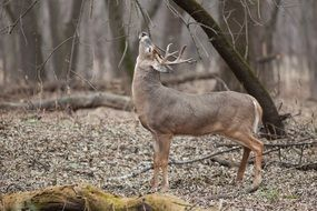 white-tailed deer in a natural environment