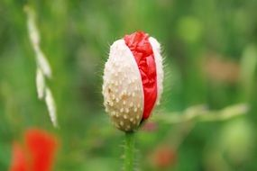 poppy capsule in the field of poppies