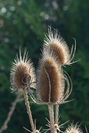 Teasel, dry seed heads close up, Dipsacus fullonum