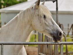graceful white horse in paddock