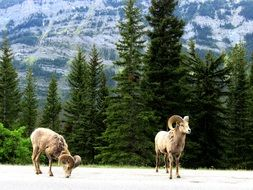 two mountain goats on a mountain in Canada