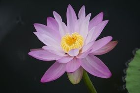 Water Lily, Nymphaea Aquatic, purple flower close up