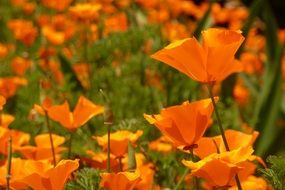 Orange Flower Poppy Poppies