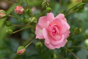 pink rose with buds on a bush close-up