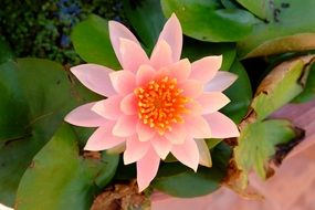 pale pink lotus is a special flower