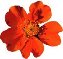 Orange flower bloom isolated
