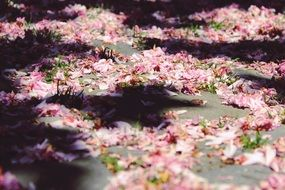 fallen Cherry Blossoms on Ground at Sun