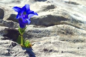 mountain flowers gentian