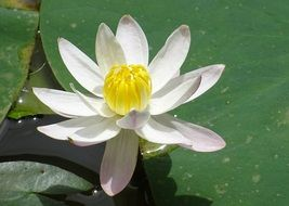 white lily in a pond in India