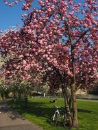 flowering cherry tree in the park