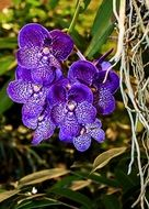 dark blue orchids as a tropical plant