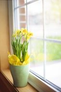 yellow daffodils in a flower pot on the window