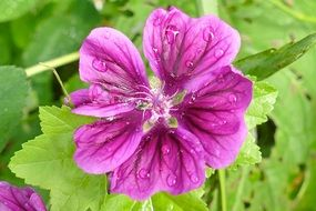 purple mallow in drops of water close-up