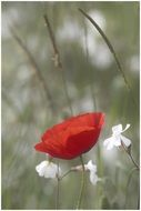 red poppy and white meadow flowers