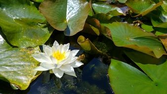 white flower of Water Lily on water
