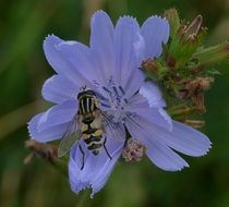 insect on a pale blue flower close-up