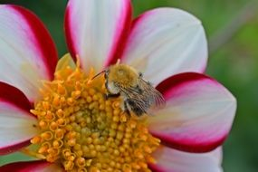 fluffy bee on a white and pink dahlia