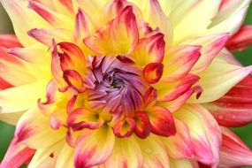 Flower Nature Dahlia Yellow Red
