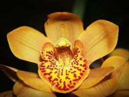 yellow Flower Orchid bloom