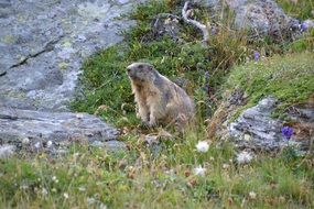 groundhog in a meadow in the Alps